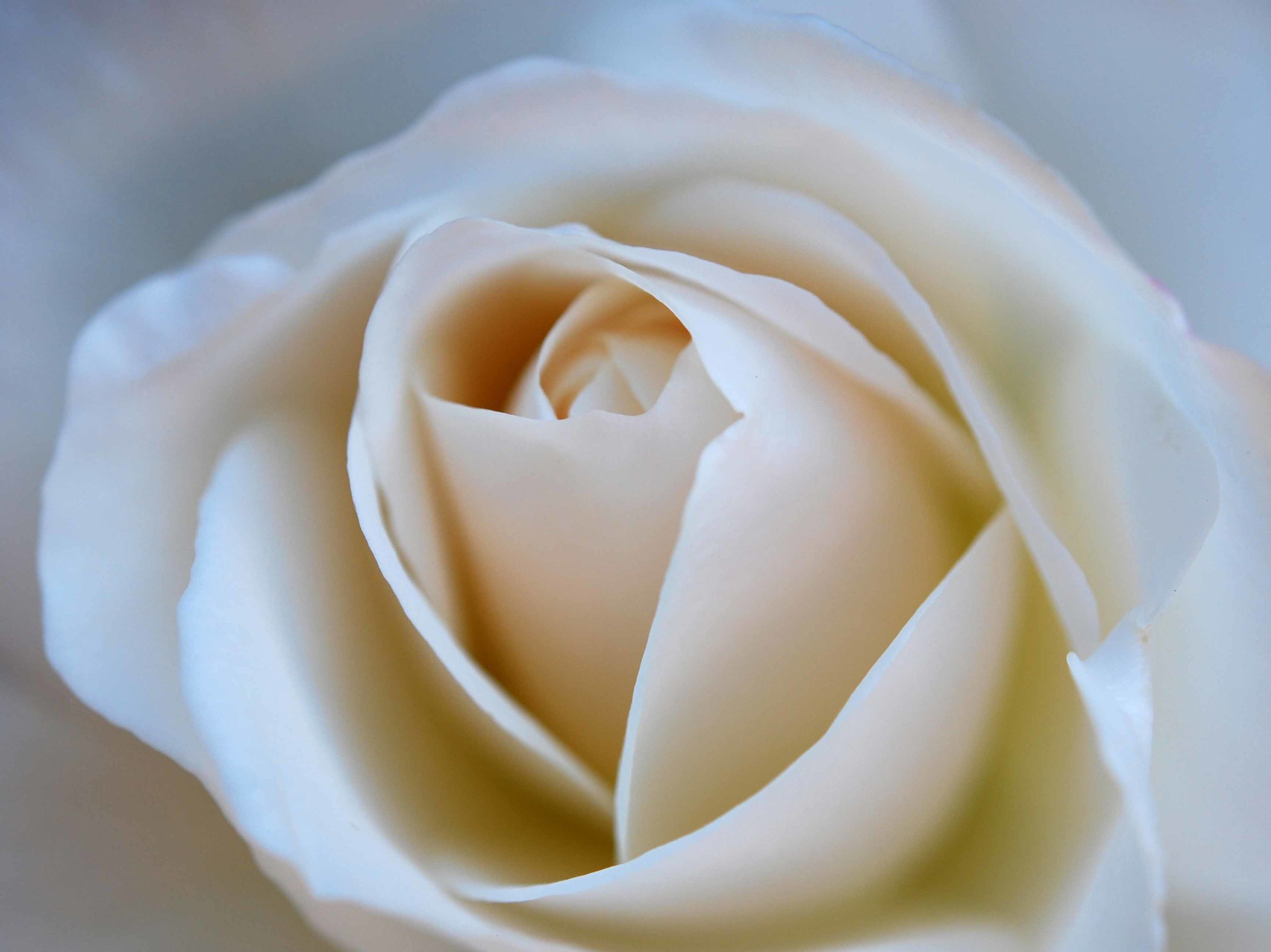 White rose Photo: Postcards from Wildwood