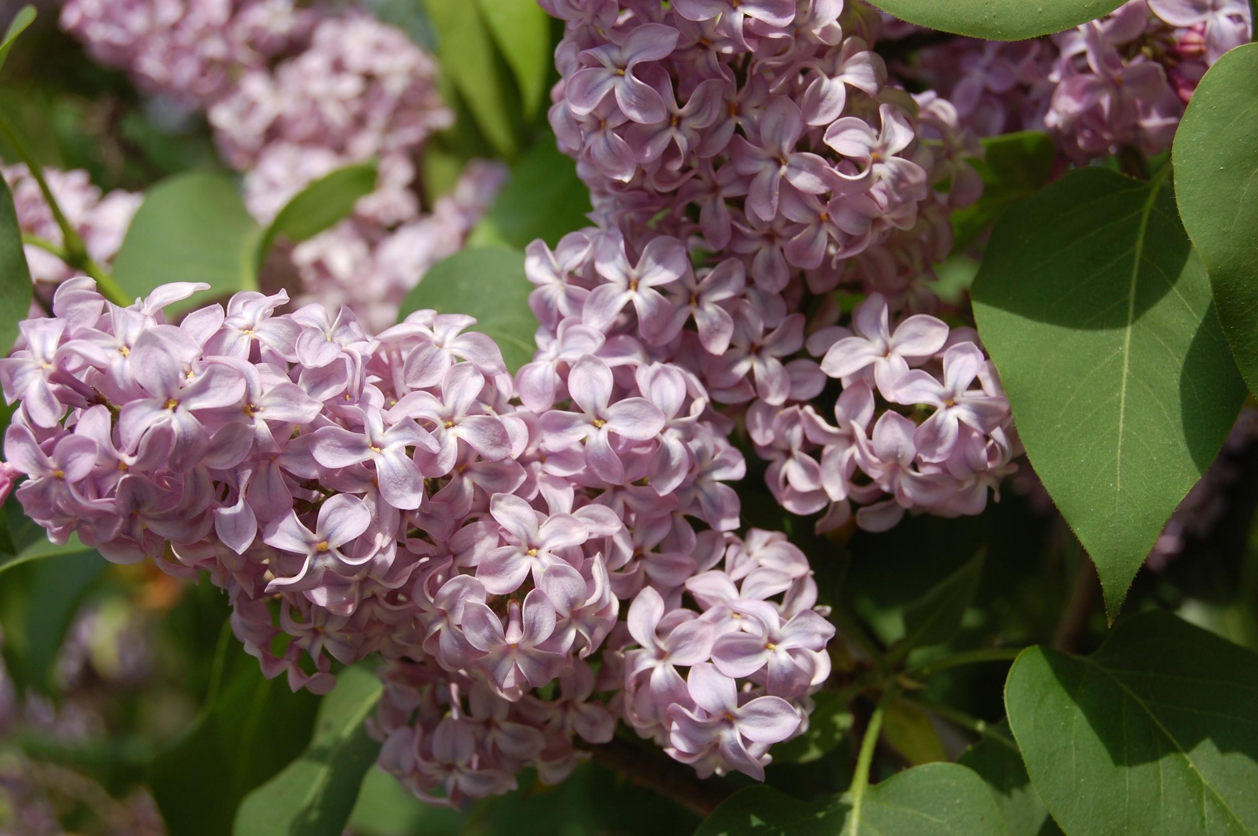 Lilac Photo: Landscape Architecture Blog