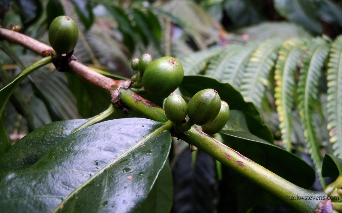 Immature Kona Coffee Beans