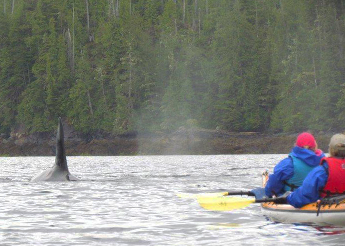 We never know exactly what wildlife we will see on any particular tour. However we can see seals, sea lions, Orcas, Humpback Whales, mink, river otter and black bears.