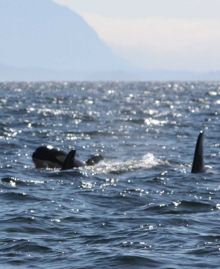 We had Orcas early this summer: this photo was taken in early May.