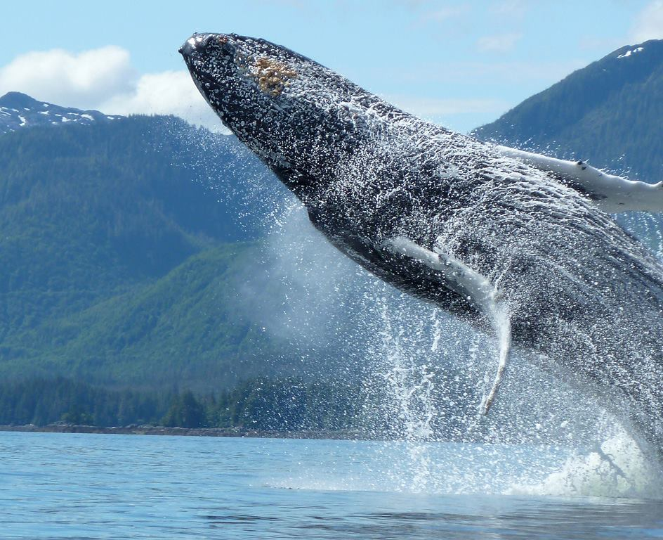 Our photo contest winner, Bonnie captured this amazing photo of an acrobatic humpback whale putting on a show at Orcas Cove.