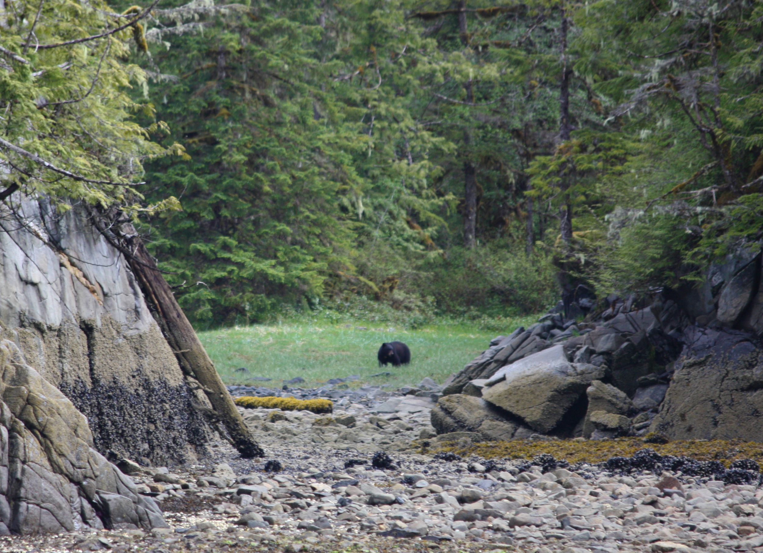 Bearnardo, made frequent appearances at the salmon stream in Orcas Cove.