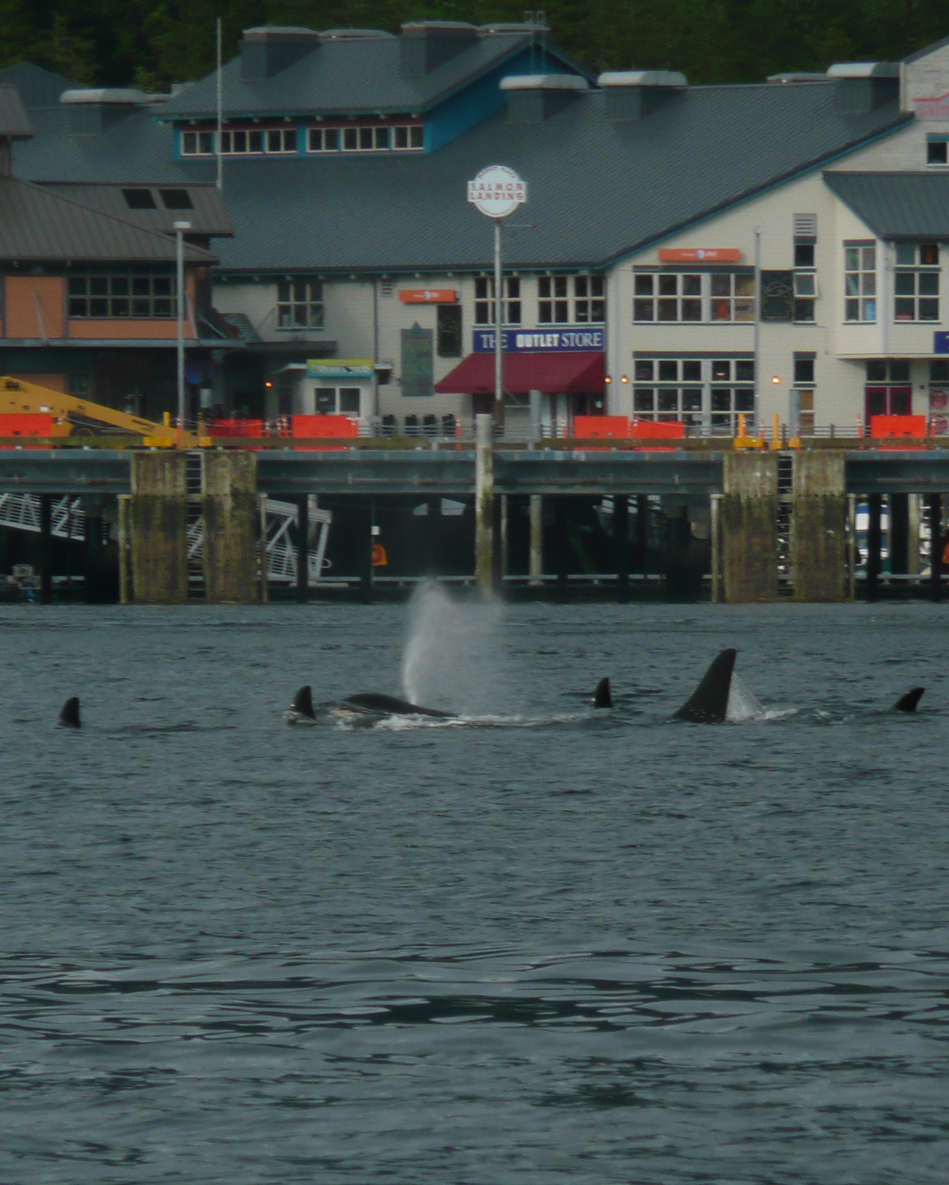 We never know when the orcas will visit. Resident pods of orcas are often seen right from the dock in downtwon Ketchikan.