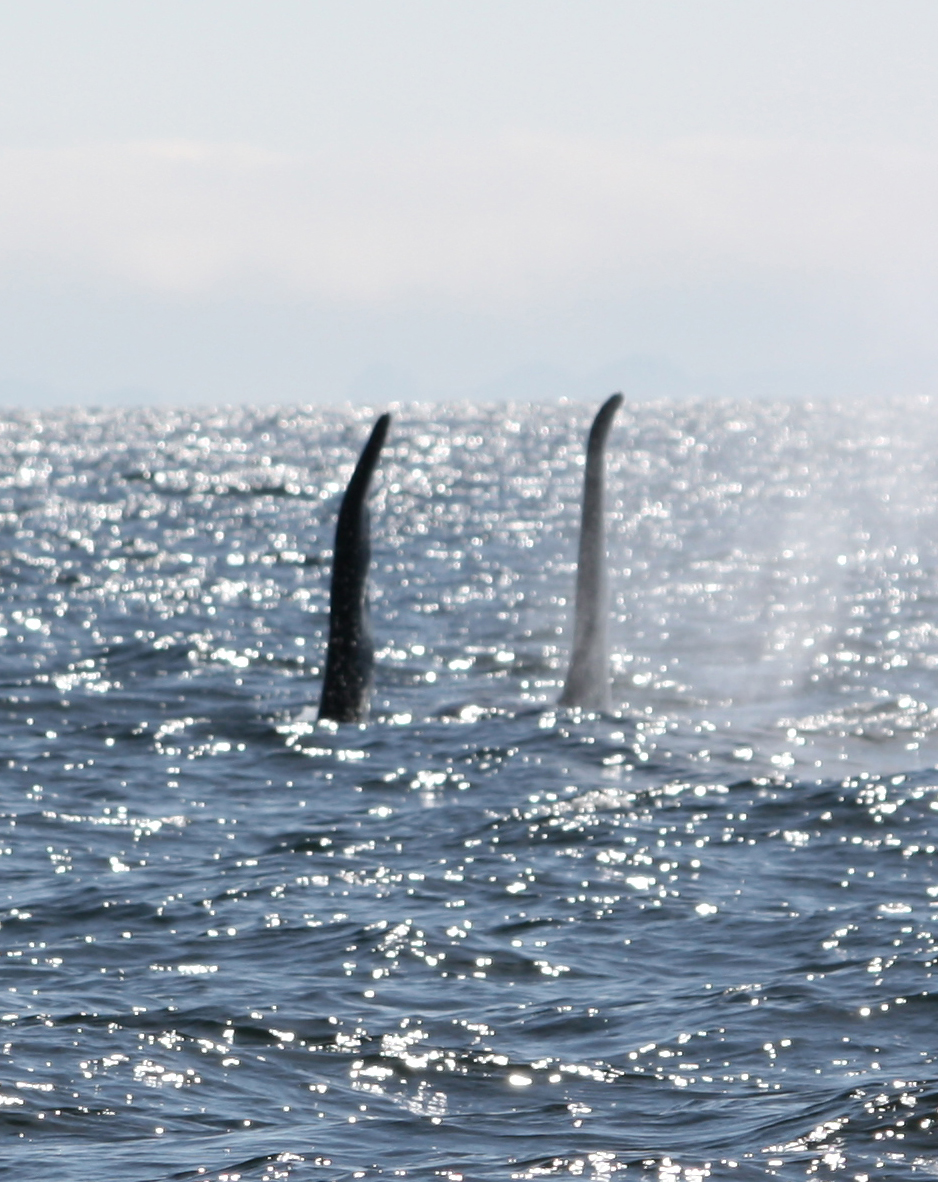 Greg took this shot of 2 male resident orcas from the boat on the way to Orcas Cove in 2013.