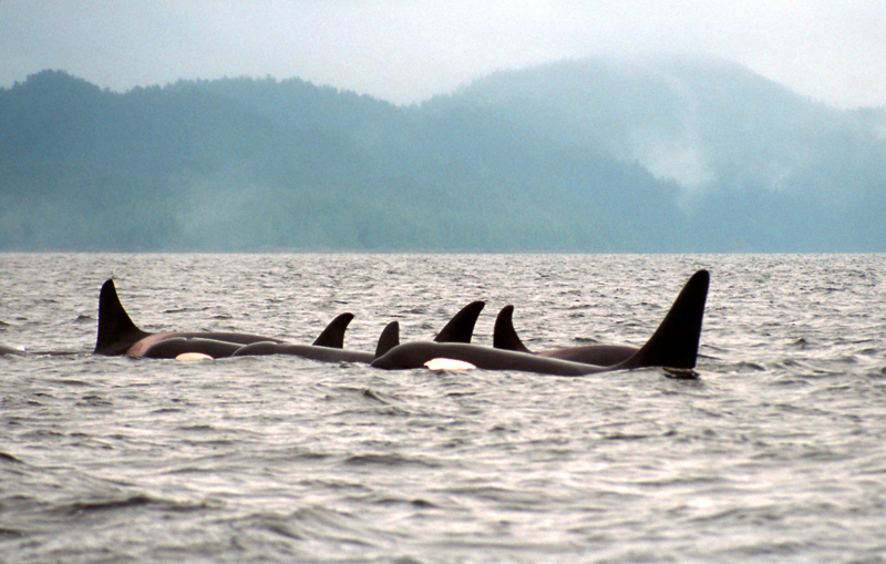 Resident orcas in George Inlet on one of Greg's daytrips in the early years of Southeast Sea Kayaks.