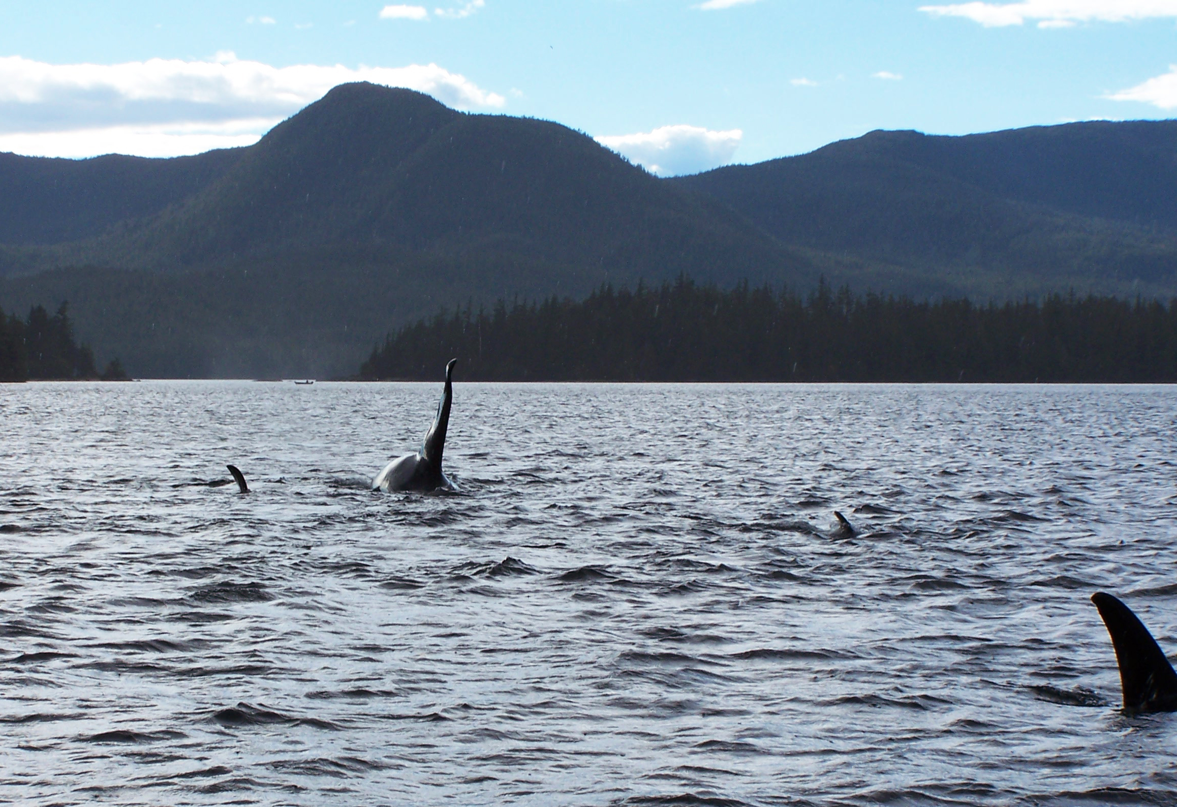 Resident orcas in Nichols Passage near the Blank Islands.