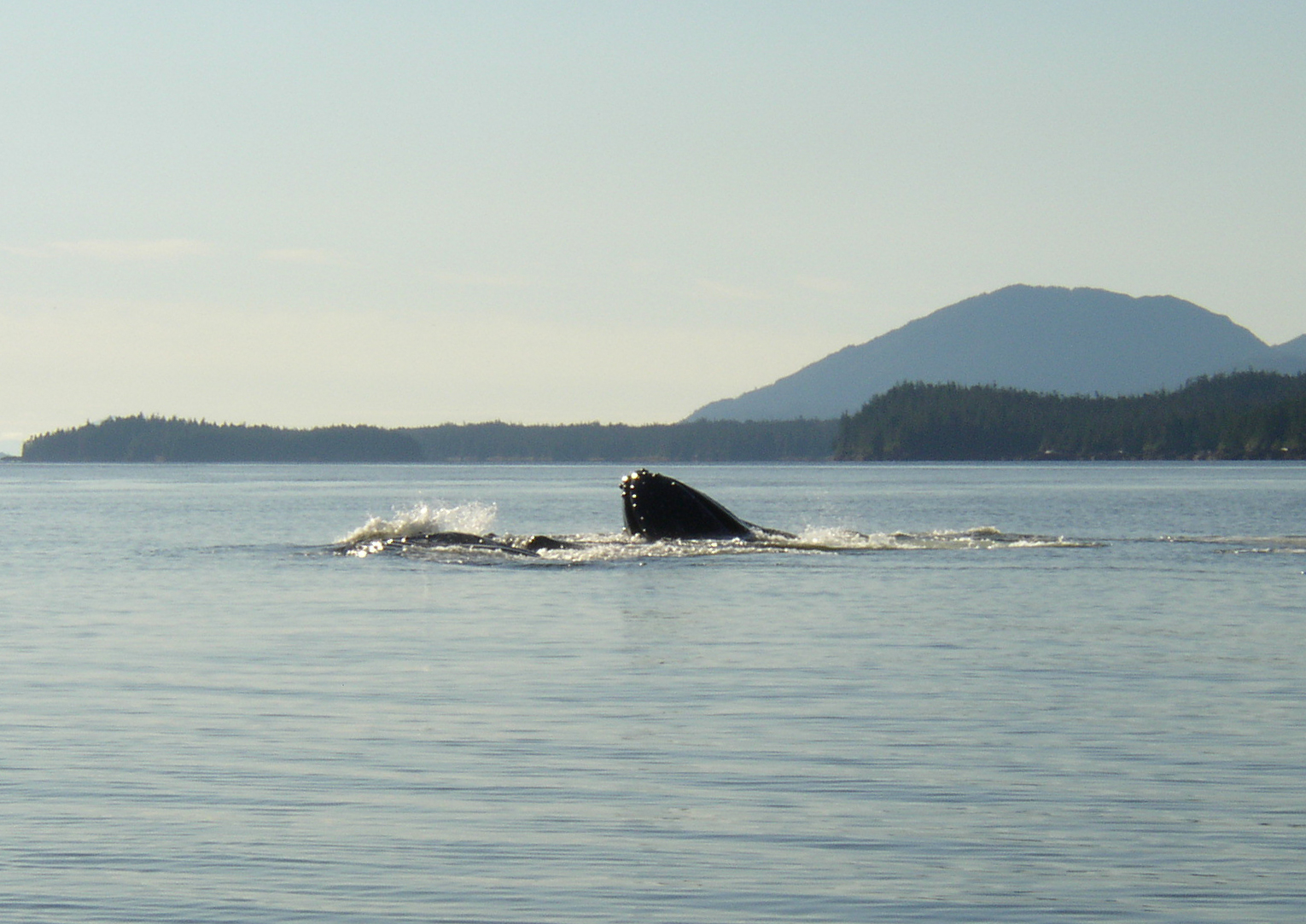Humpback whale lunge feeding in Nichols Passage.
