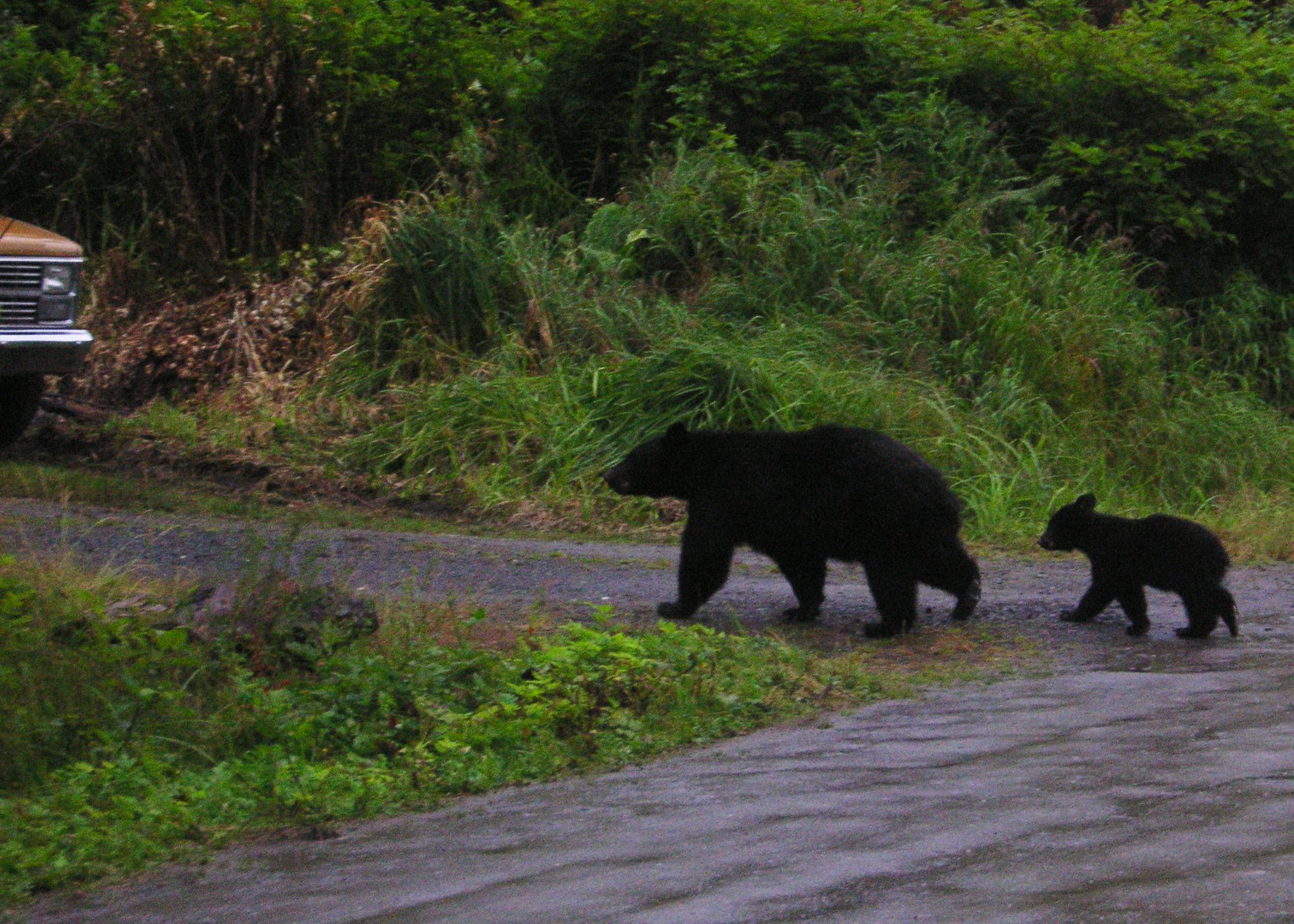 Black bears roam the town of Ketchikan, Alaska.