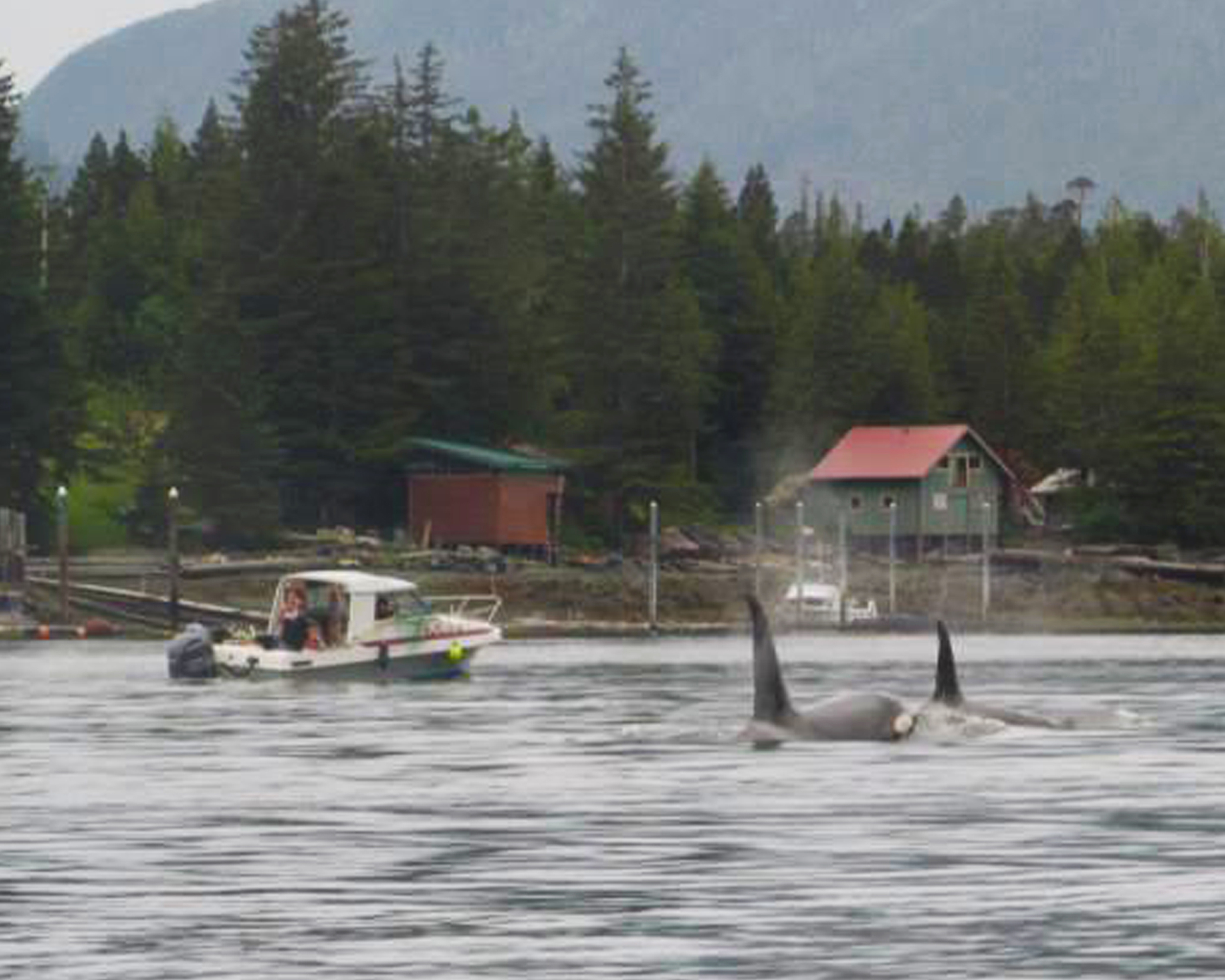 Whales are a common sight in the Tongass Narrows in front of Ketchikan.