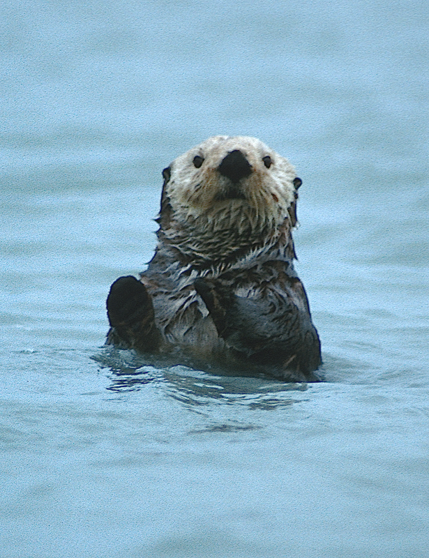 Yes! Sitka really does have sea otters. Adorable otter photo by Dan Kiely.