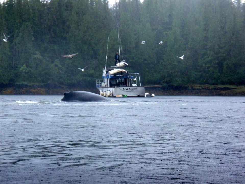 Captain Rob watches a humpback whale surface in Orcas Cove in 2011 - a great year for humpbacks.