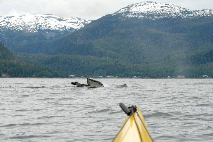 12 years of amazing encounters with wildlife! Kendra Sharp took this great shot of a humpback whale at Orcas Cove in 2011.