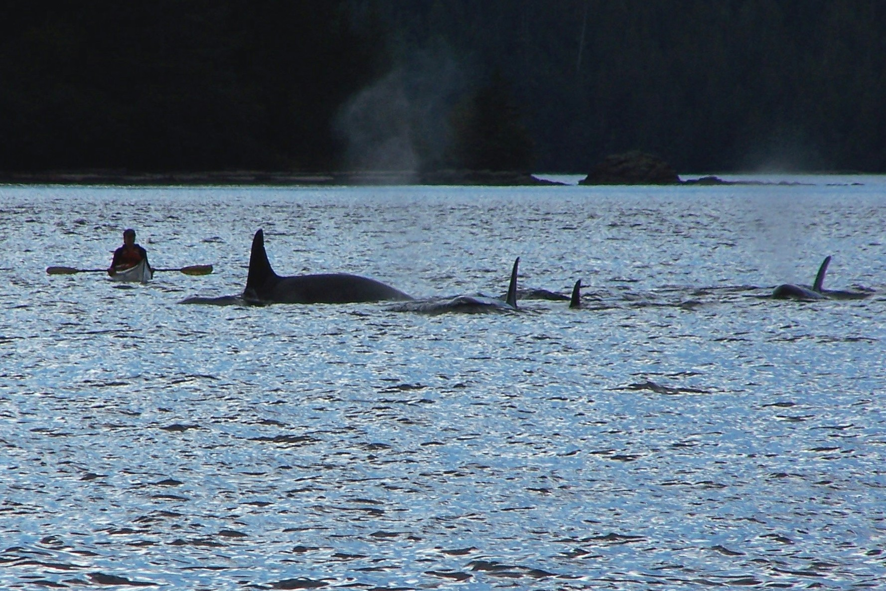 My favorite day at Orcas Cove: an encounter with several pods of Orcas in September 2005.