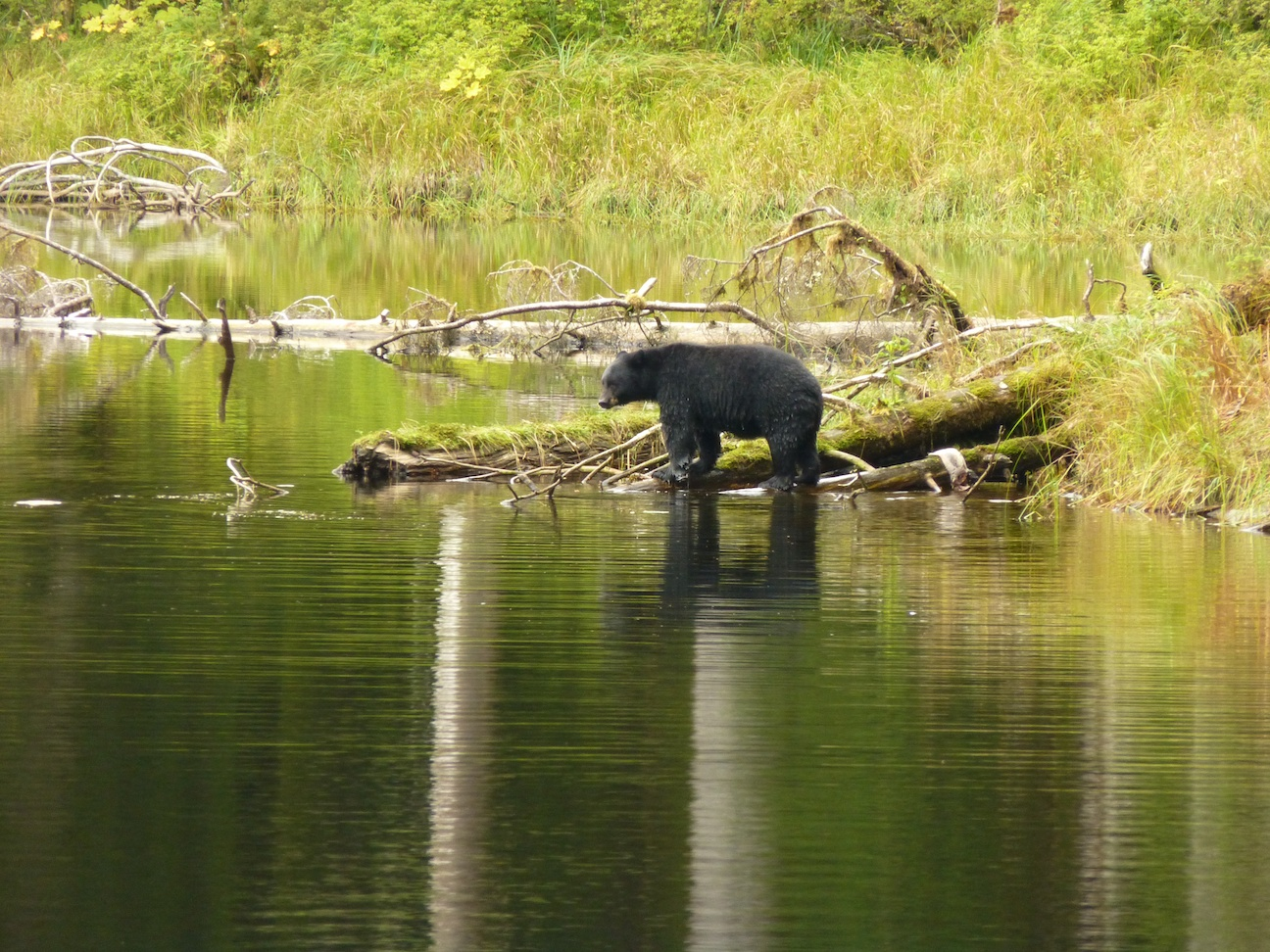 Bears viewing tours are available in many ports on the Alaska Cruise.