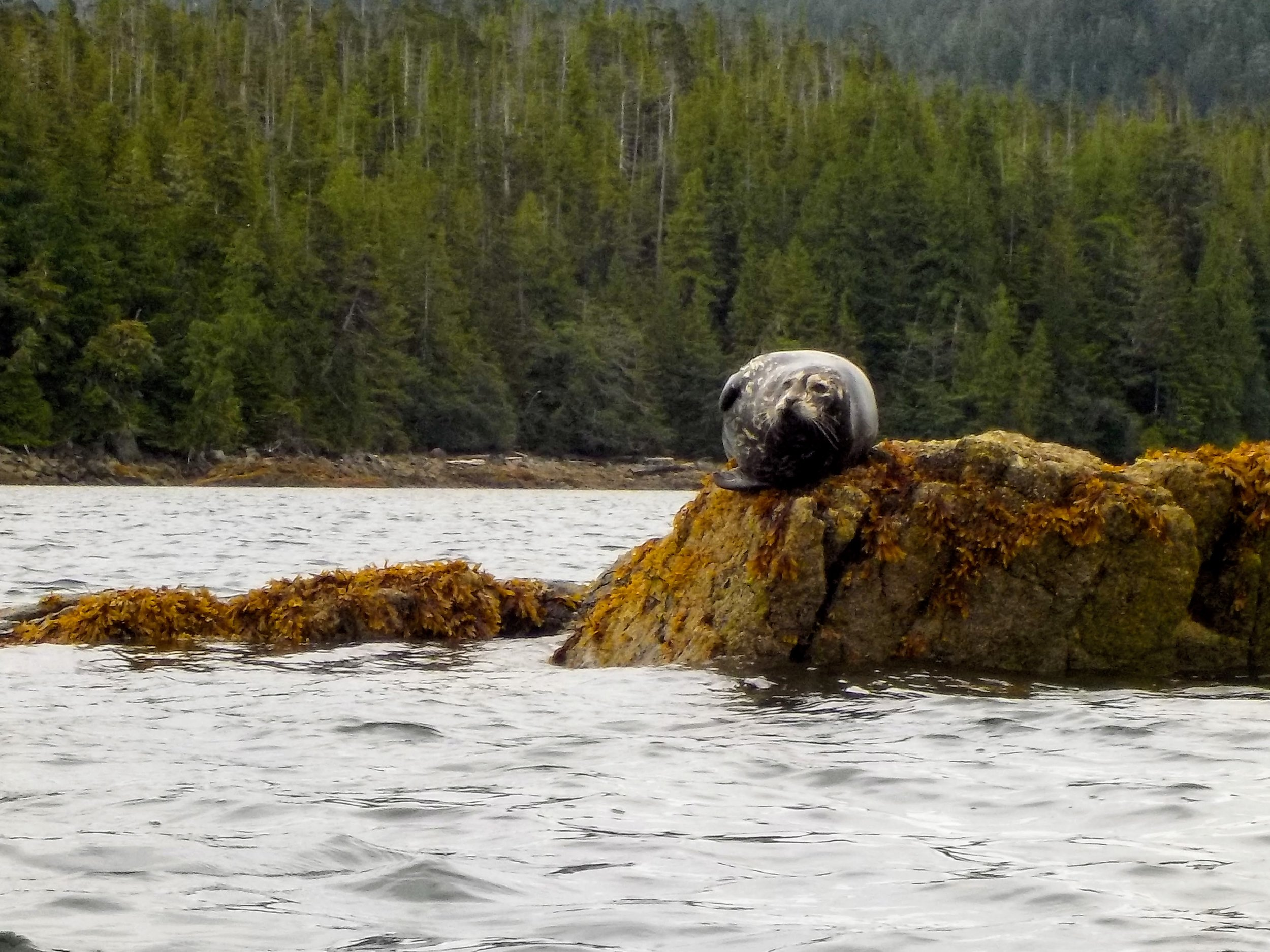Seal on the rocks at Orcas Cove. Meeting animals in their natural environment is one of the great joys of sea kayaking.