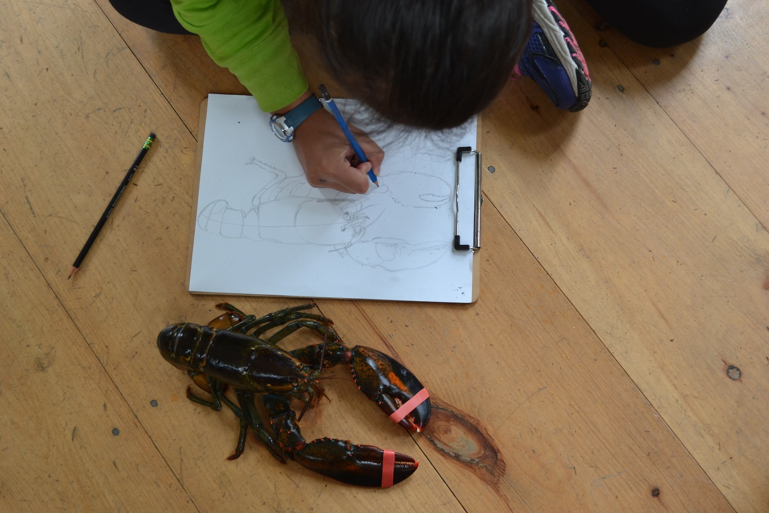 Learning about lobsters by drawing them!