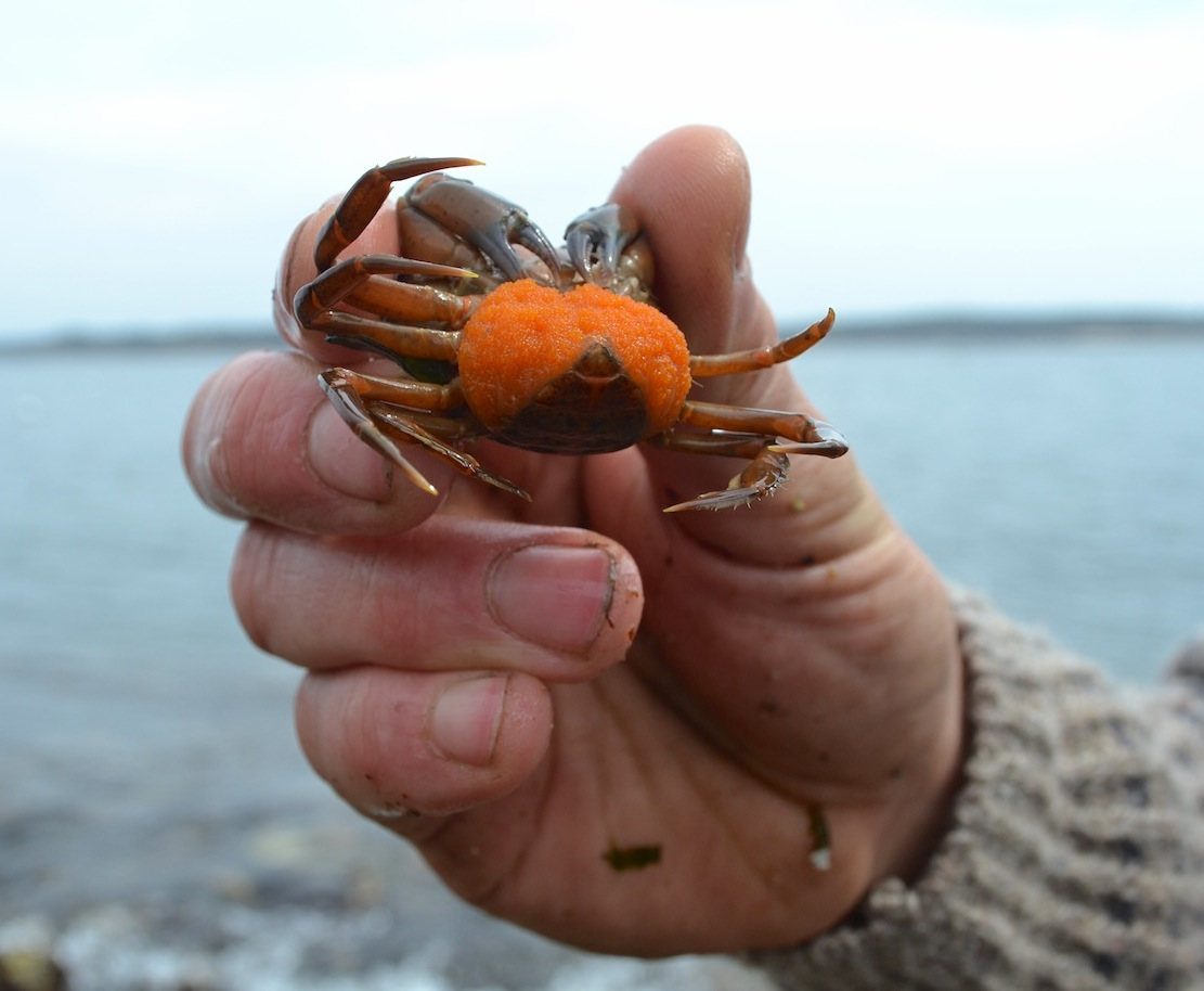 A female green crab carrying a large mass of eggs (orange), secured to her telson with an excreted glue-like substance