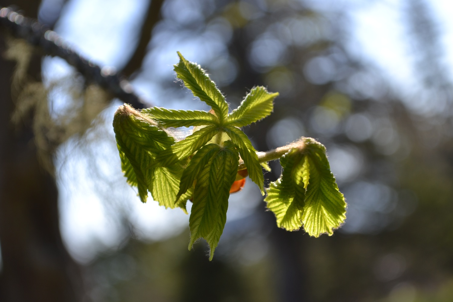 Newly broken leaves on the Horse chestnut. Taken May 15, 2015