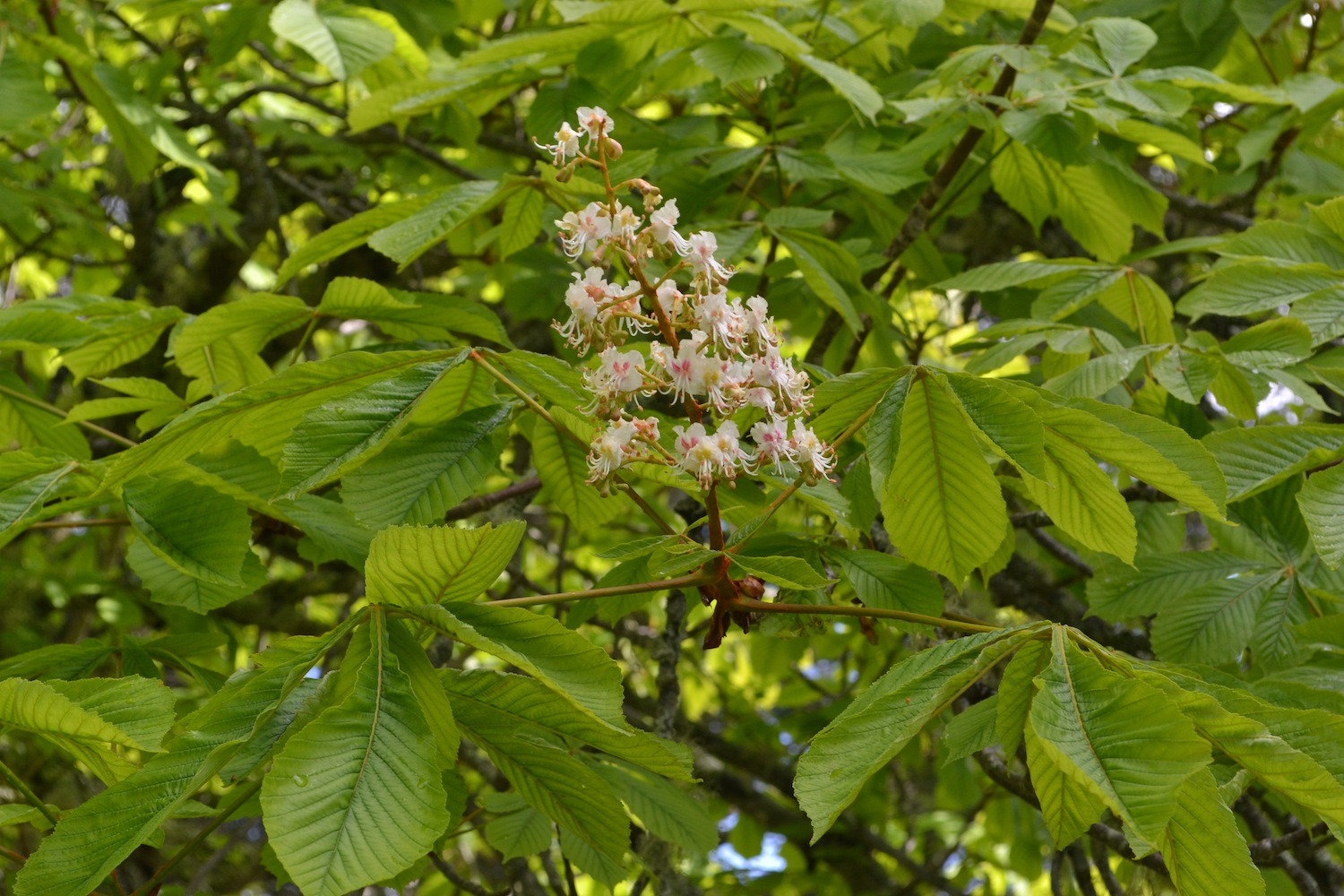 First blooms on the Horse chestnut, taken June 3, 2015