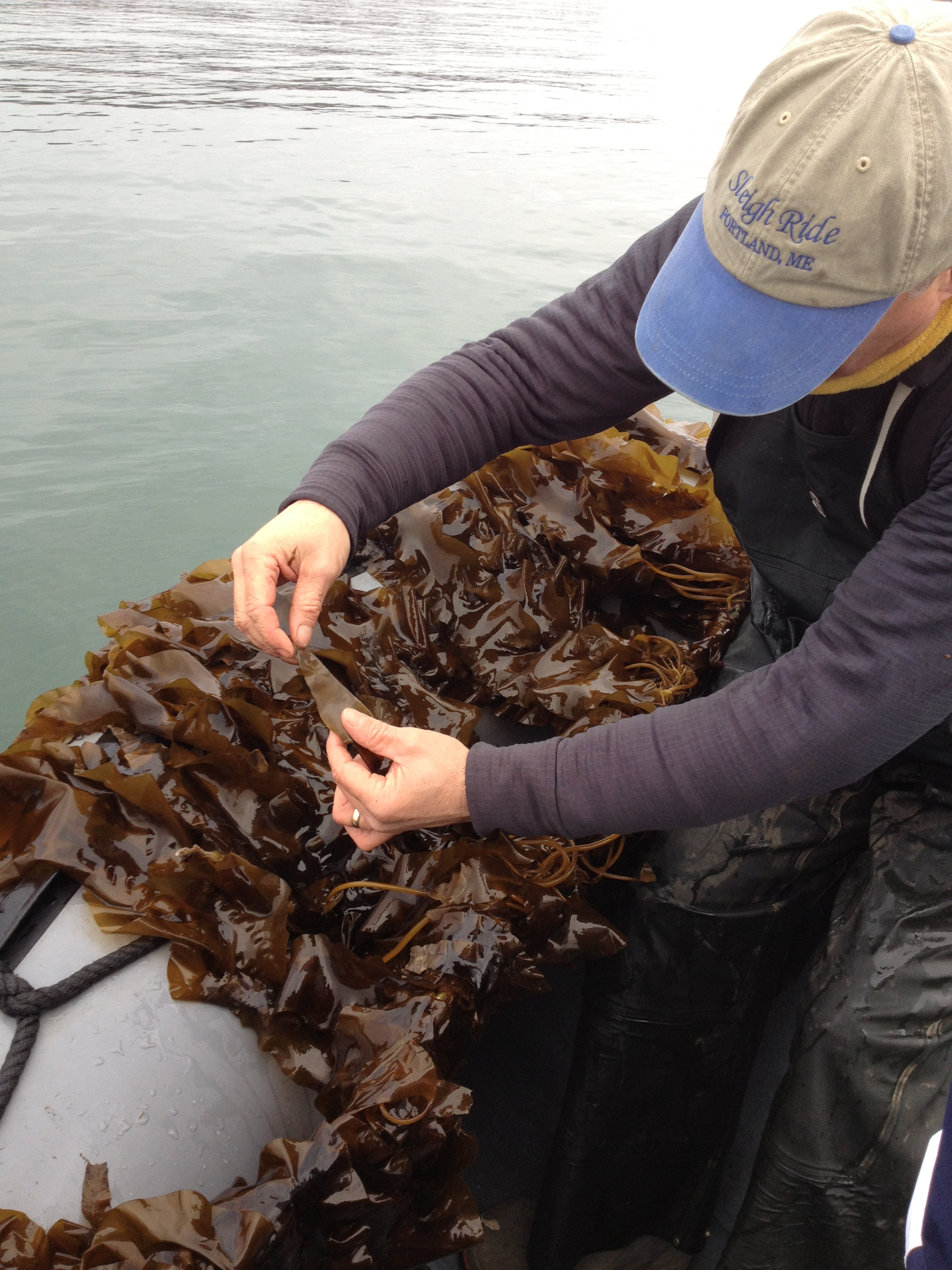 Sugar Kelp growing commercially