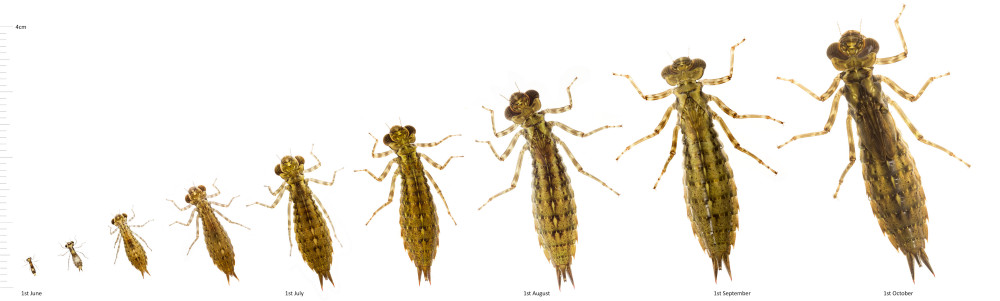 Dragonfly larvae will molt between 5 and 14 times before it is ready to emerge as an adult dragonfly  (Image from  Shropshire Dragonflies )
