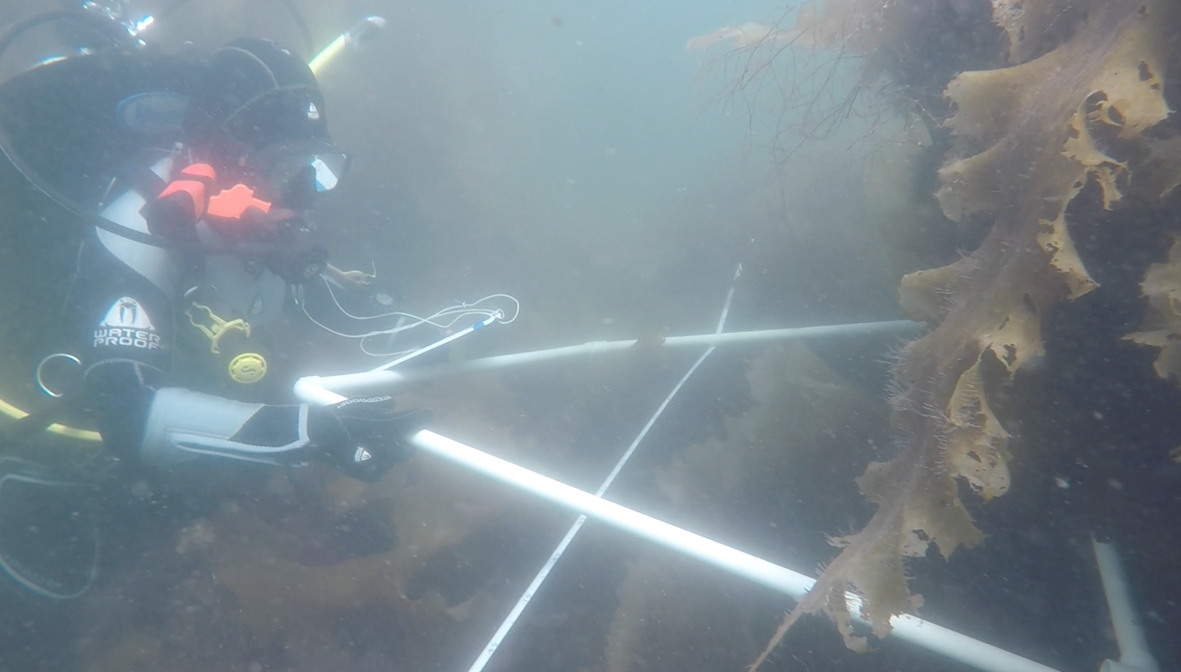 I'm placing a quadrat along our transect for the quadrat protocol in which we count the number of kelp fronds and invertebrates in a 1m2 quadrat