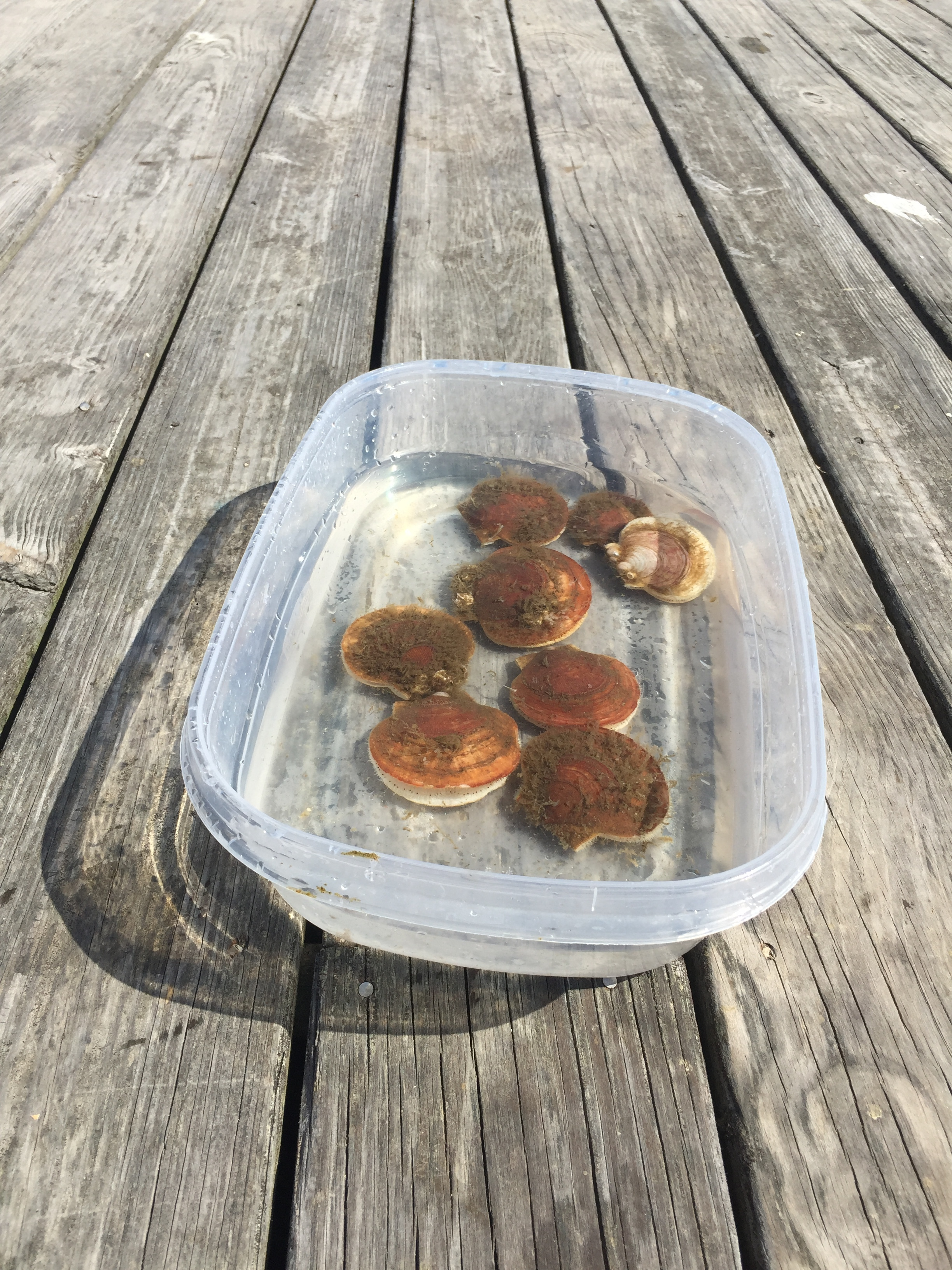 A bunch of scallop friends spending some quality time away from their lantern net home.