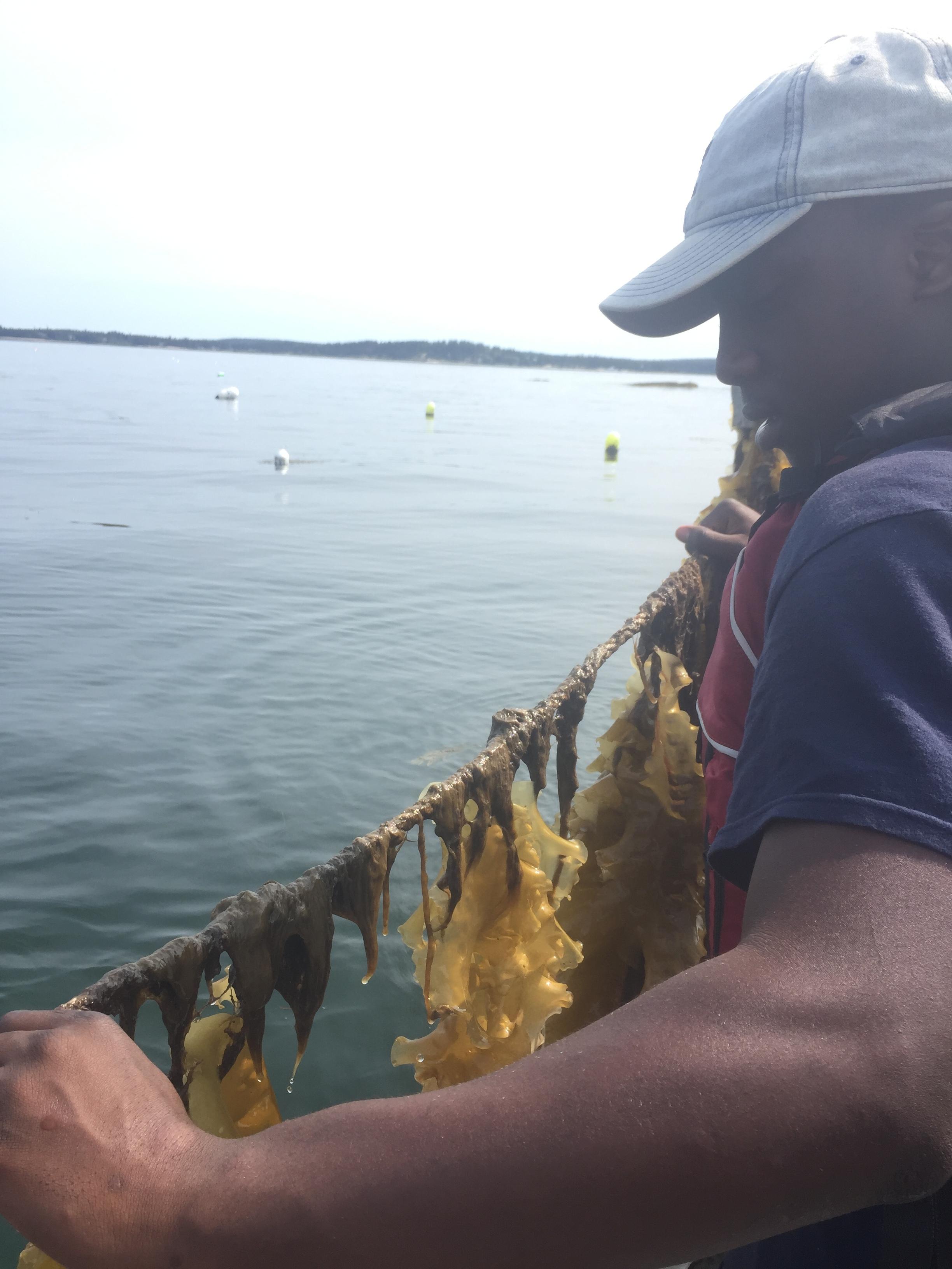 Poking around the Aquaculture's kelp line