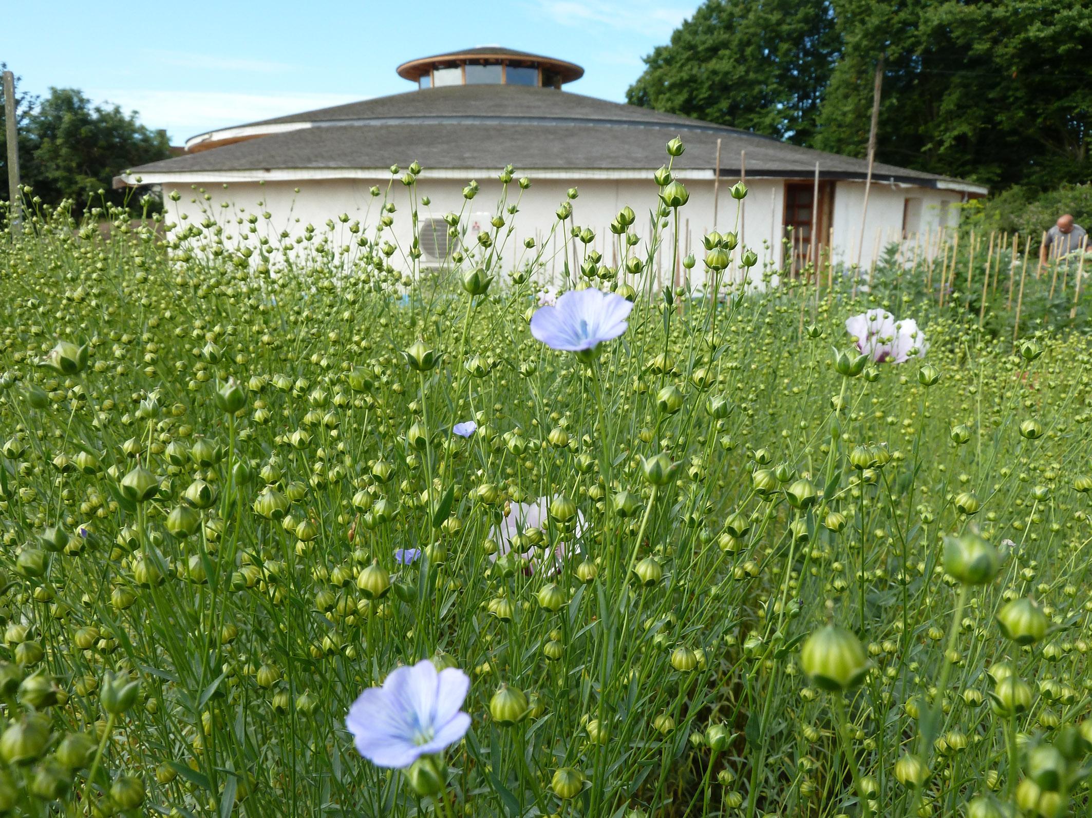 4 - Flax flowers.jpg