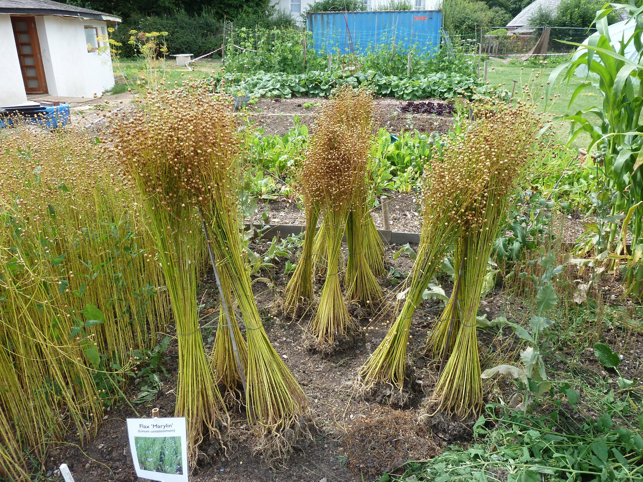 5 - Flax drying.jpg