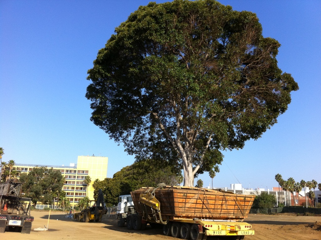 A group of trees located in the center of the site along Main Street, affectionately known as the '3 Amigos' were relocated. This is the first amigo on a flatbed.