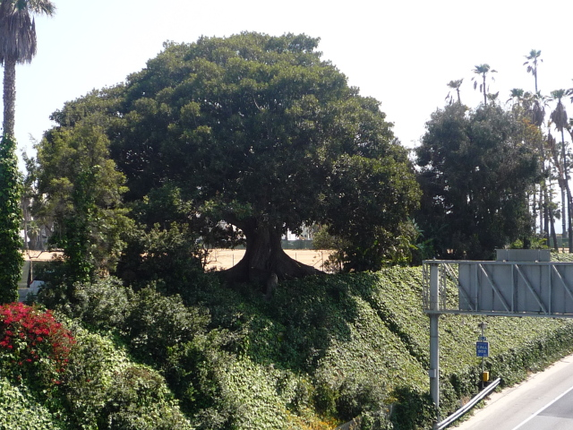 Morty, a giant Moreton Bay Fig tree, is located on the northeast corner of the site.