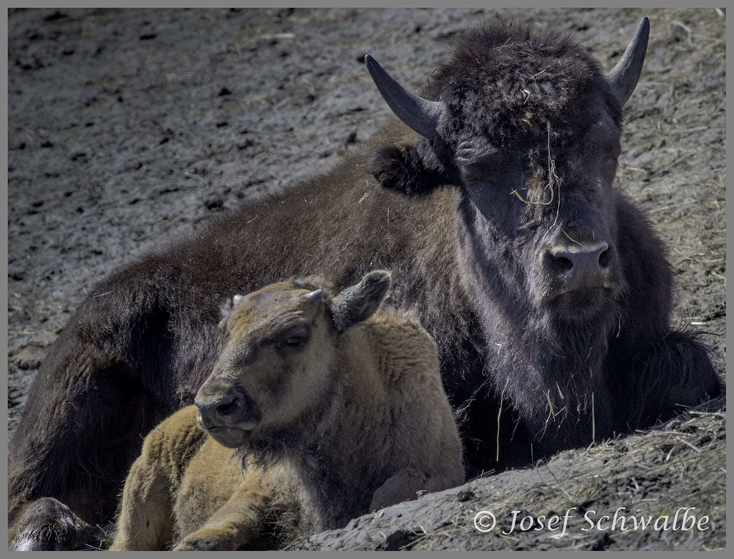 Bison Mother and Child