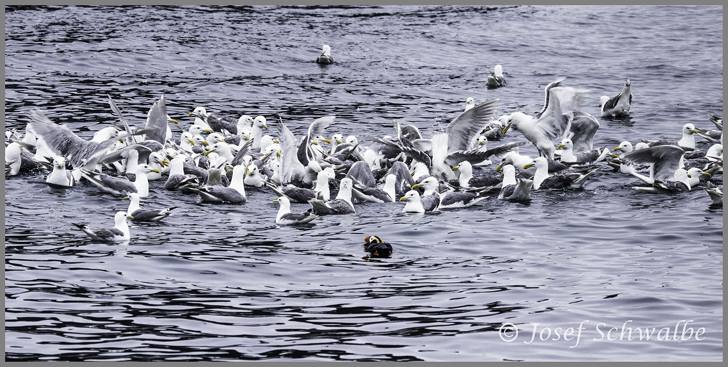Puffin and Seagulls