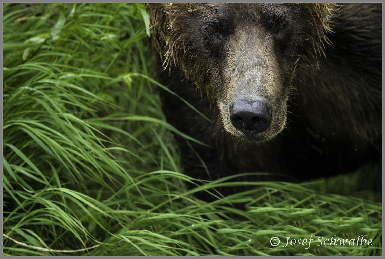 Bear Behind Shrub