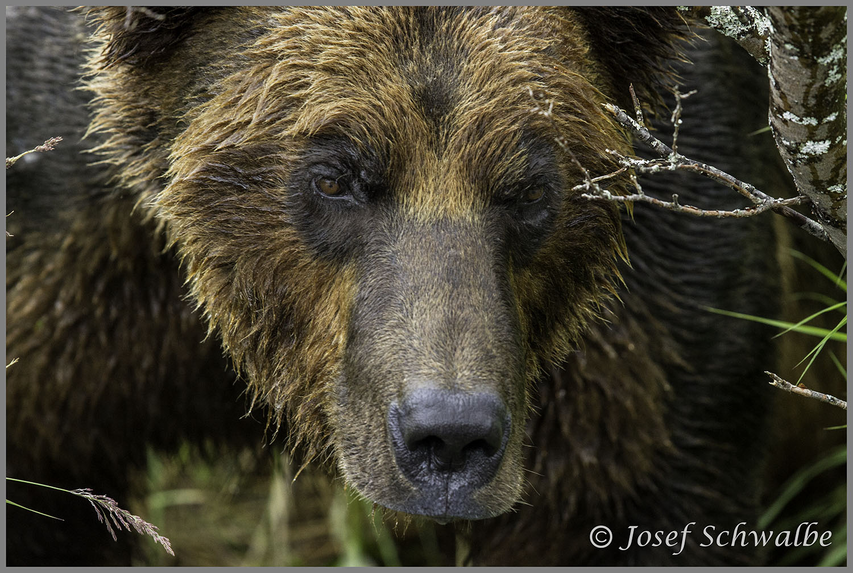 Brown Bear Lurking