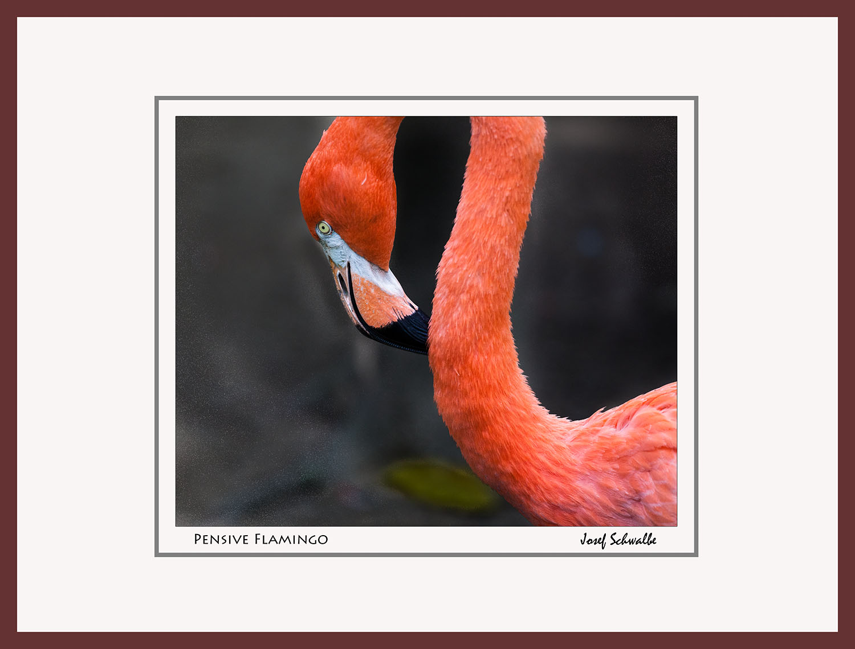 Pensive Flamingo