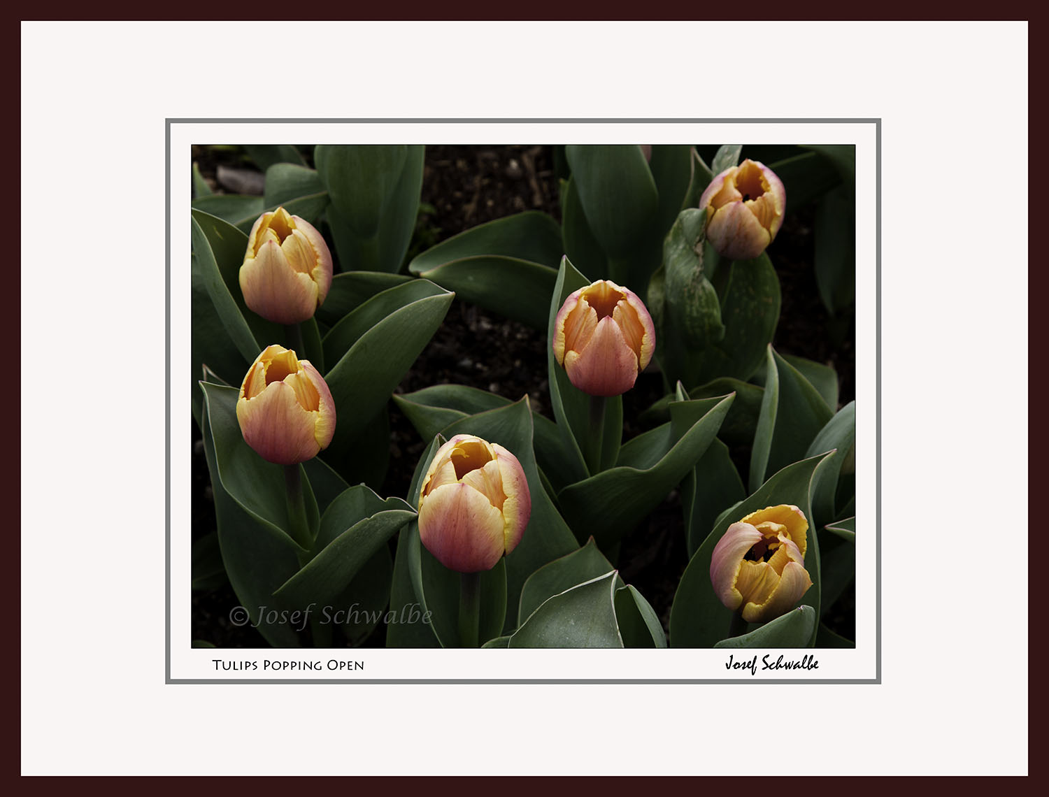 Tulips Popping Open