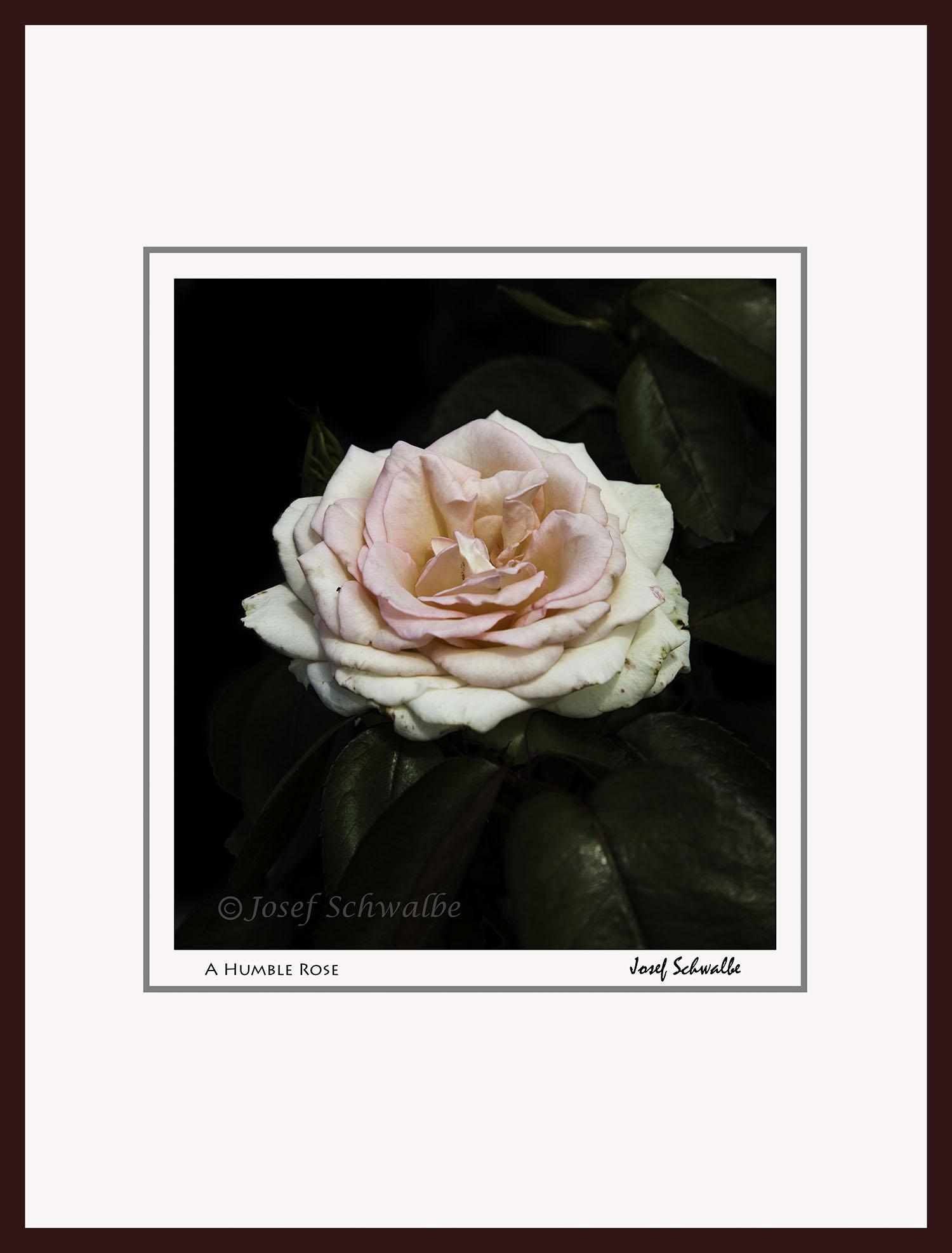 A Humble Rose