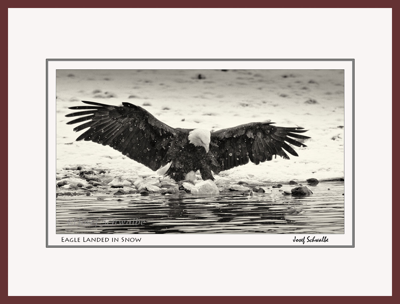 Eagle Landed in Snow