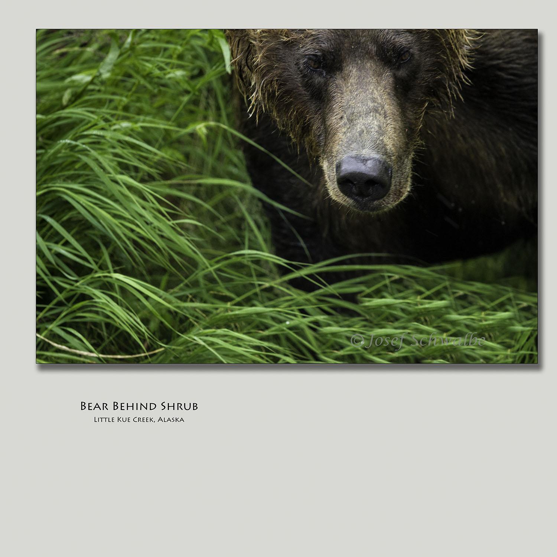 BearBehindShrubs.jpg