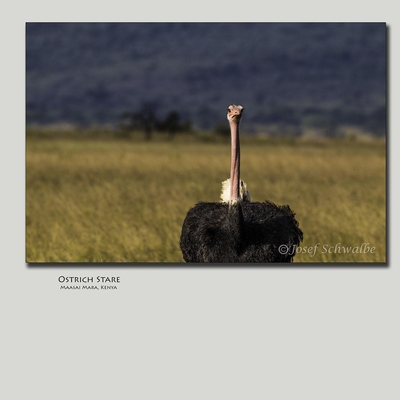 Ostrich Stare
