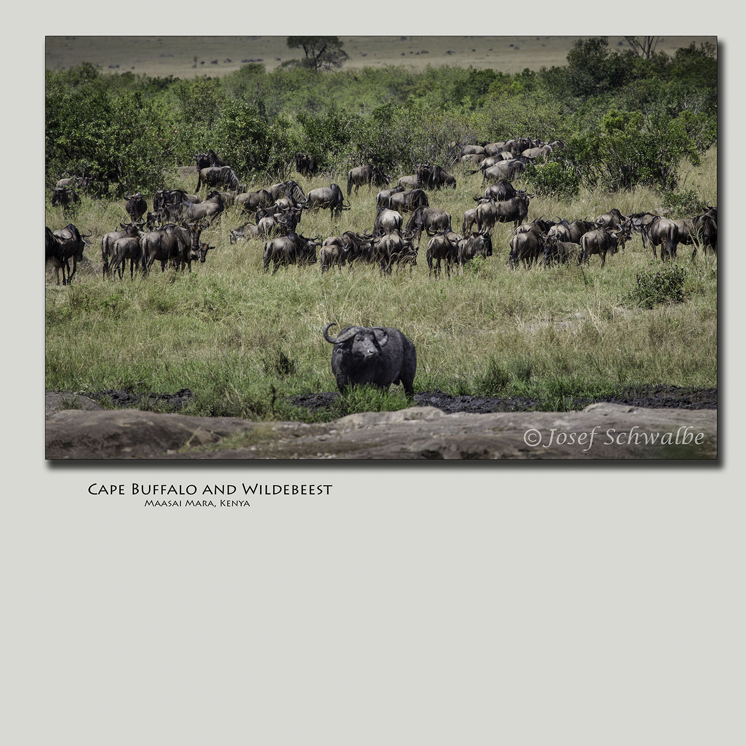 Cape Buffalo and Wildebeest