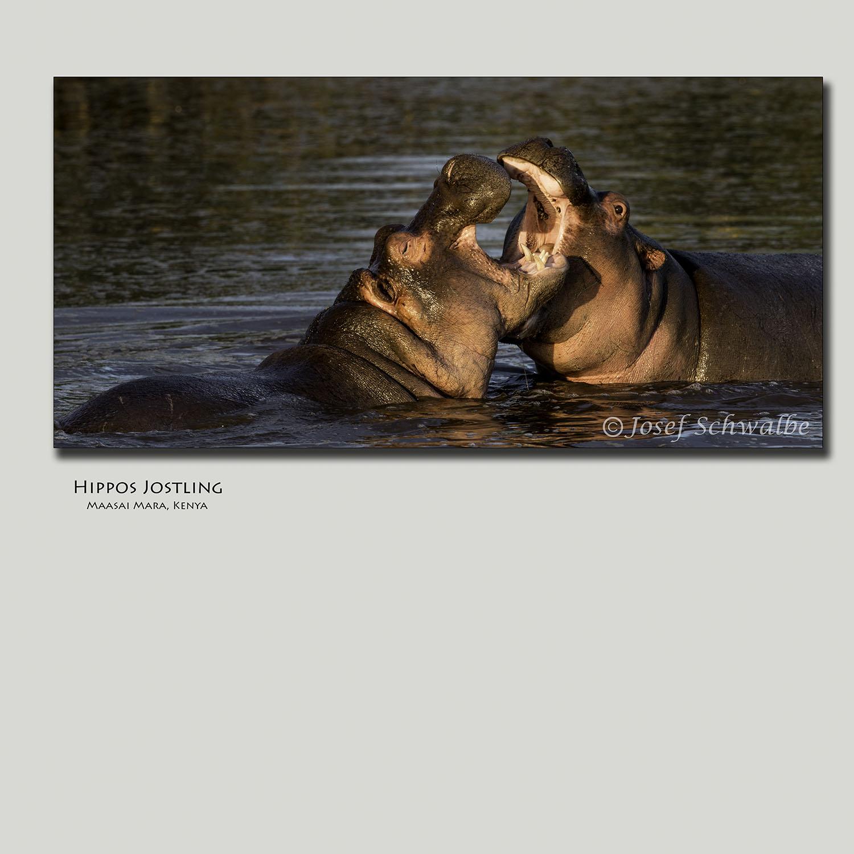 Hippos Jostling