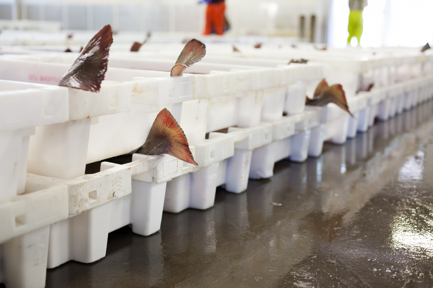 Andrew Charles at the Peterhead Port Authority Fish Market in Peterhead Aberdeenshire, Scotland. For Waitrose Weekend.