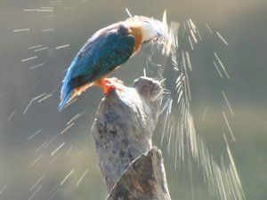 A kingfisher shakes water from itself at The Mandala