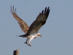 A bird of prey takes off from its perch
