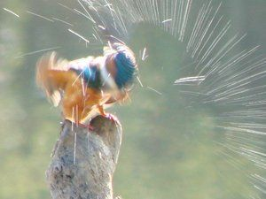 A small blue and orange bird shakes water from its down