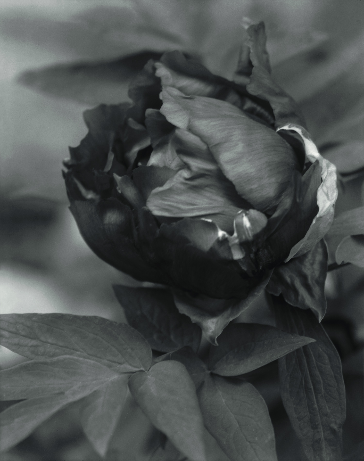 Elvira Piedra,  Emergence, El Rito, photograph of a tree peony
